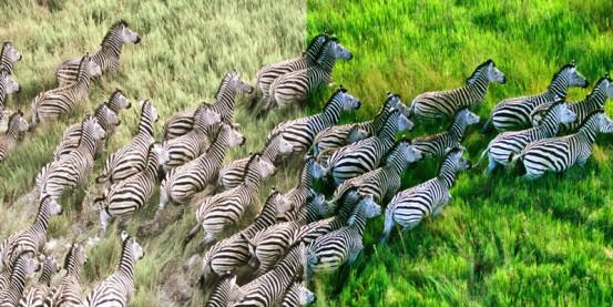 zebras_large